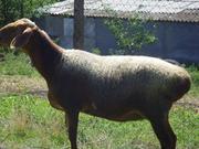 Куплю     Овцы/Бараны